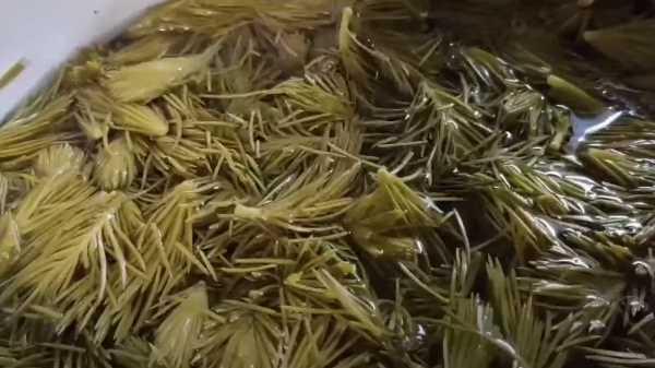Как и сколько варить варенье из еловых побегов